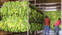 Raw Tobacco Leaf In Factory Oven Stock Footage
