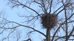 Bald Eagle Nest on Tall Tree Stock Footage