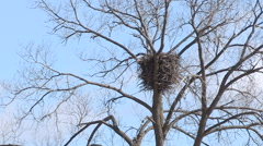 Bald Eagle Nest in Wild Stock Footage
