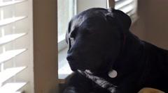 Black labrador dozes off at window, 4K Stock Footage
