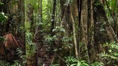 Fig Tree in Australian Rain Forest  landscape - stock footage