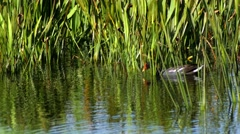 Common Gallinule swims through pond grass, 4K Stock Footage
