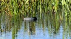 American Coot duck dives for plant food, 4K Stock Footage