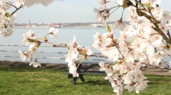 cherry blossom 4840 - stock footage