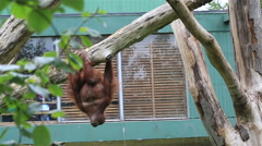 Bornean orangutan hanging on the tree Stock Footage