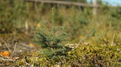 Seedling planted on clear cut land in Northern Ontario. Stock Footage