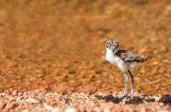 Lapwing Chick at Lake Stock Photos
