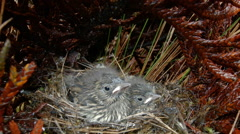 Chicks, about 20 days old, of Plumbeous Sierra Finch (Phrygilus unicolor) Stock Footage