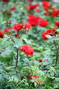 Stock Photo of red roses flower garden springtime