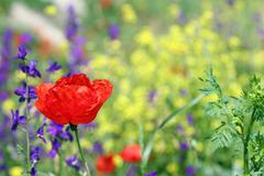 Red poppy flower spring season Stock Photos
