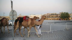 Camel herd in Qatar city Stock Footage
