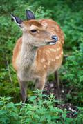 Sika deer (lat. Cervus nippon) doe Stock Photos