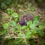 Baby European Hedgehog (Erinaceus europaeus) sniffing in grass, - stock photo