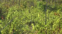 Green vine yard, sunny day Stock Footage
