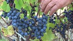 Mature hand picking black grape in green vineyard, gathering season Stock Footage