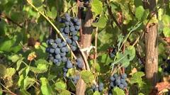 Senior farmer hand gathering black grapes, sunny day, close up Stock Footage