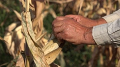 Man hand gather maize, hands loosen comb, close up, gathering autumn season Stock Footage