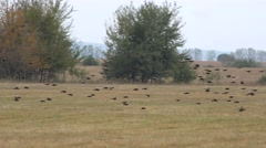 Birds covey flying over countryside field looking for food, landing  Stock Footage
