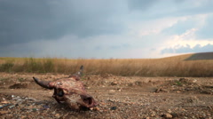Cow skull on a dirt road through the field Stock Footage