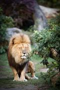 Stock Photo of majestic lion