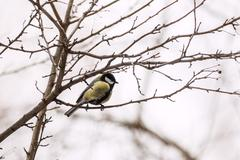 Great Tit (Parus major) on a tree - stock photo