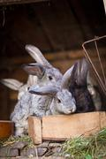 Young rabbits popping out of a hutch (European Rabbit - Oryctola - stock photo