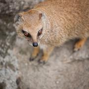 Cute yellow mongoose Stock Photos