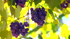 Bunches of Isabella grapes on the vine Stock Footage