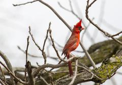 Male Northern Cardinal On Full Alert - stock photo