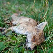ROADKILL - DEAD FOX (VULPES VULPES)LYING IN GRASS - stock photo
