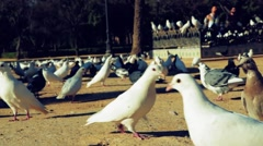pigeons in a park - stock footage