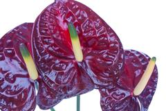 Purple anthurium (Flamingo flower) isolated on white Stock Photos
