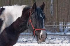 Beautiful free stallion on a winter woods background Stock Photos