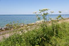 Dutch coast with achillea blooming  at the dike - stock photo