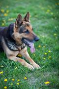 Clever German Shepherd dog lying in the spring grass, waiting fo - stock photo
