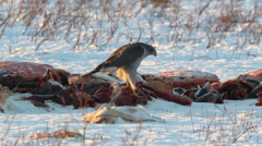Goshawk sits on a piece of meat and foragers Stock Footage