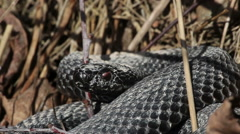 Close up of a viper bite at the camera Stock Footage