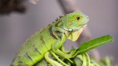 Green iguana (Iguana iguana) Stock Footage