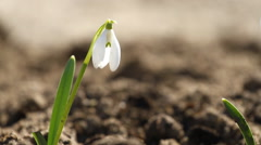 White snowdrop flowers in springtime Stock Footage