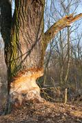 beaver gnawed willow tree - stock photo