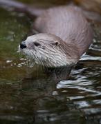 European Otter (Lutra lutra), also known as Eurasian otter, Eura Stock Photos