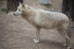 Arctic Wolf (Canis lupus arctos) aka Polar Wolf or White Wolf - Stock Photos