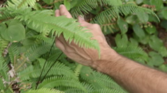 Man Feels The Leaves Of A Wild Fern Plant In The Pacific Northwest Stock Footage