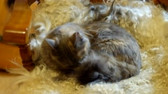 Russian blue cat laying on sheepskin and cleaning fur Stock Footage