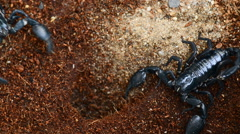 Dangerous black scorpion close up HD video footage. Stock Footage
