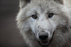 Stock Photo of Arctic Wolf (Canis lupus arctos) aka Polar Wolf or White Wolf -