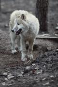 Arctic Wolf (Canis lupus arctos) aka Polar Wolf or White Wolf - - stock photo