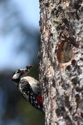 Great Spotted Woodpecker (Dendrocopos major) approaching his nes Stock Photos