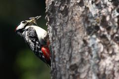 Great Spotted Woodpecker (Dendrocopos major) approaching his nes - stock photo