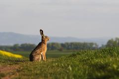 Brown hare (lepus europaeus) sitting on a green balk - stock photo